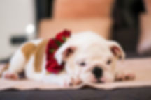 close-up-photo-of-bulldog-1596576.jpg
