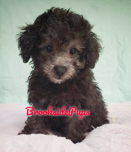 Toy Poodle, Male