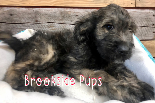 Goldendoodle, male