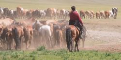 Cattle herding (Mongolia)