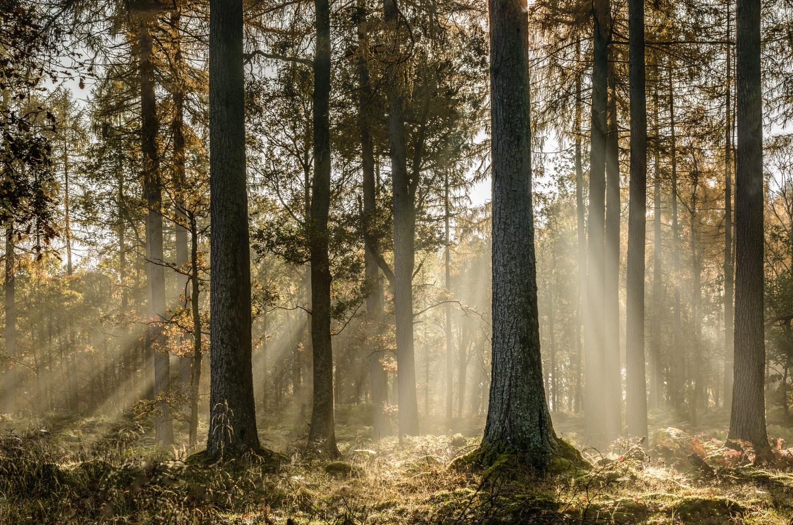 Crepuscular rays Manesty woods