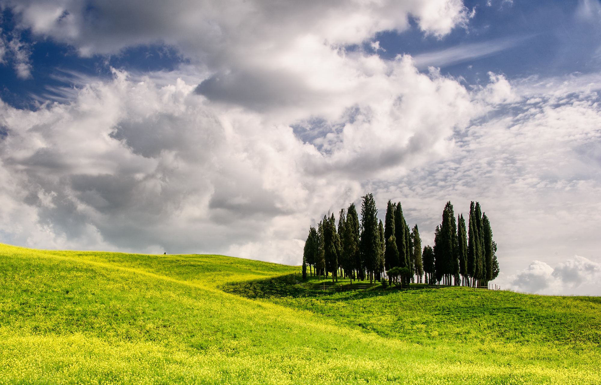 Cypress trees (Tuscany)