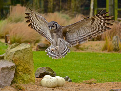 A Milky Eagle Owl on the Hunt