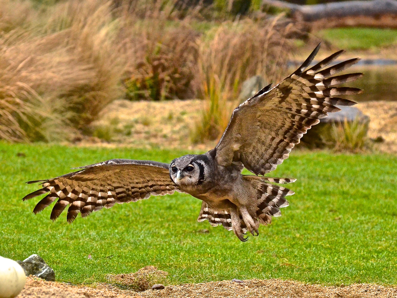 Milky Eagle Owl in Flight