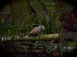 A Long Eared Owl in the Woods (2)