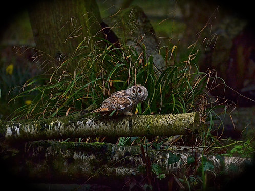 A Short Eared Owl in the Woods