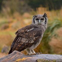 A Milky Eagle Owl in Profile