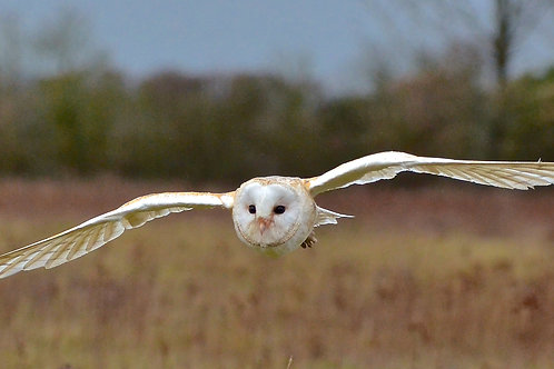 A Barn Owl in Flight