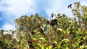 Autumn: Supporting the Lungs with Immune Boosting Elderberry Syrup.