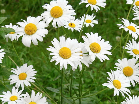The Mighty Chamomile