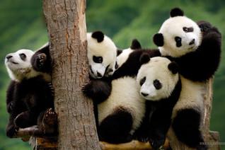 Panda-Wallpaper-HD-Computer-_edited.jpg