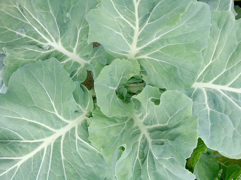 White cabbage (650g approx)