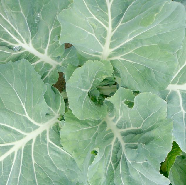 Kohlpflanze