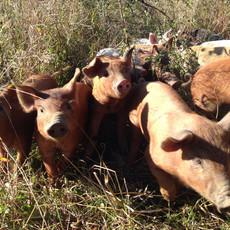 Roaming Piglets