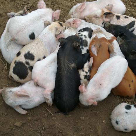 Pile o'Piglets