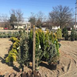 Early season conifers
