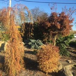Fall Conifers