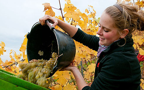 Lisa Bunn bei der Weinlese, Niestein, Rheinhessen