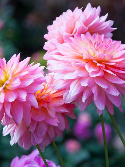 Dahlia flower Pink Dahlia flower. light