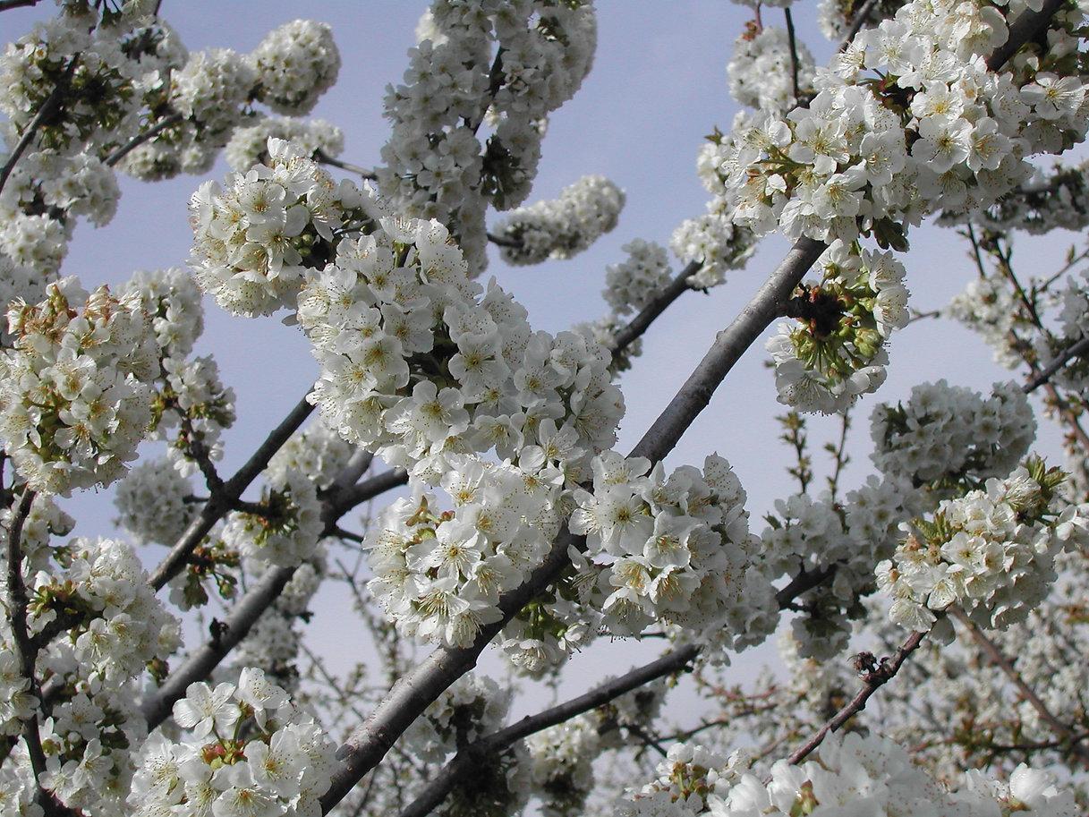 Floración del cerezo - Gastro Madrid