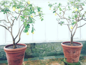 Recipe: Potting Mix for Citrus Trees
