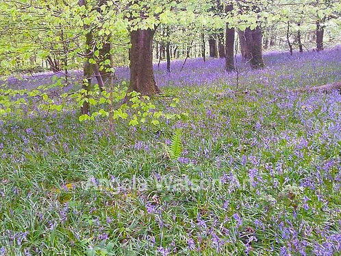 In the Bluebell Wood, The Quantocks, Somerset