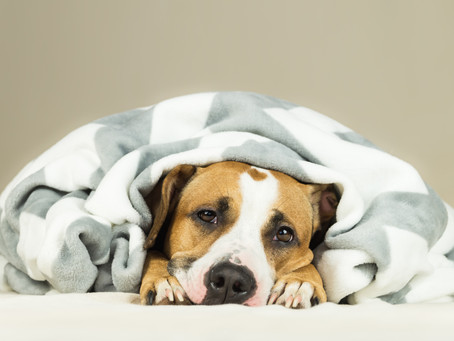 It's Flu Season… for Dogs, too!