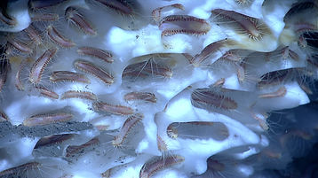 hydrates-with-ice-worms.jpg