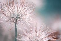 pasqueflower-3066824_1920.jpg