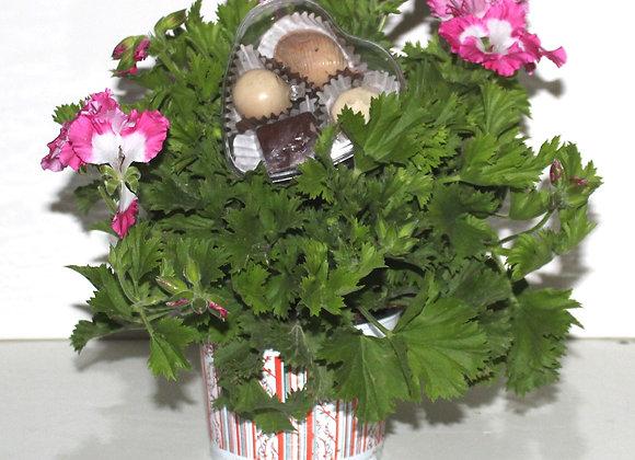 עציץ פרחים אמיתי בשילוב שוקולד חלבי ומשובח
