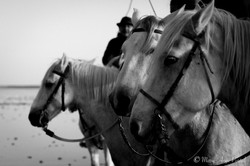 france_serie_camargue_chevaux_nb