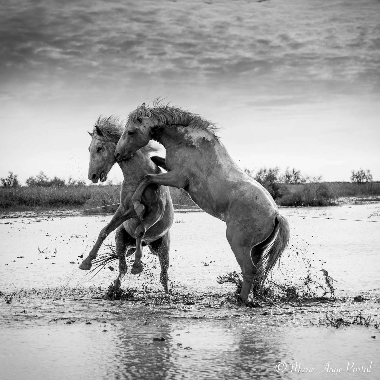 france_serie_camargue_chevaux_etalons_nb