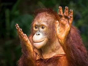 orang outan - regard peuples et nature m