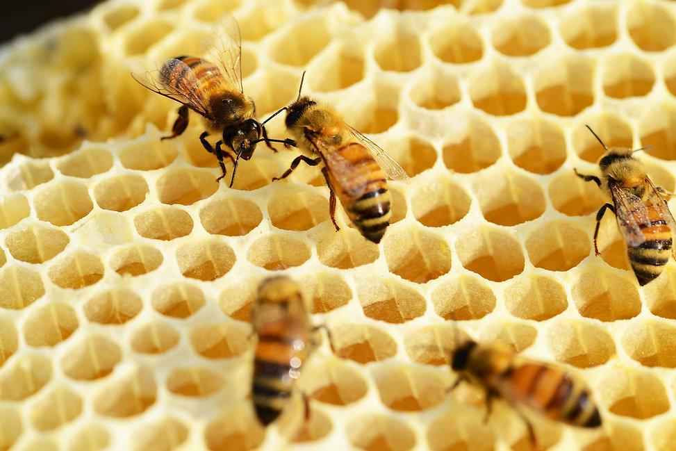 bees-352206_1920.jpg