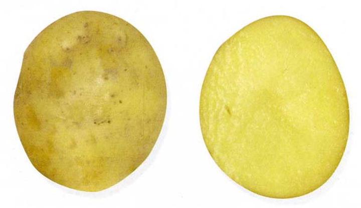 Картофель Сударыня