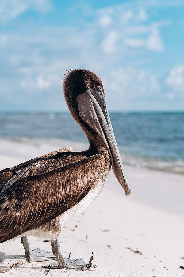 Пеликан ан берегу Карибского моря