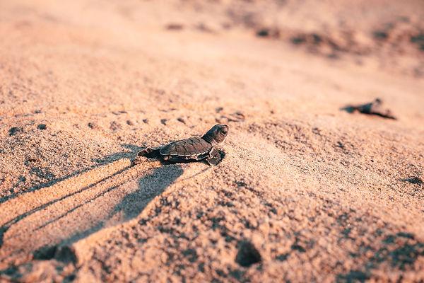 Выпуск черепах в Пуэрто-Эскондидо