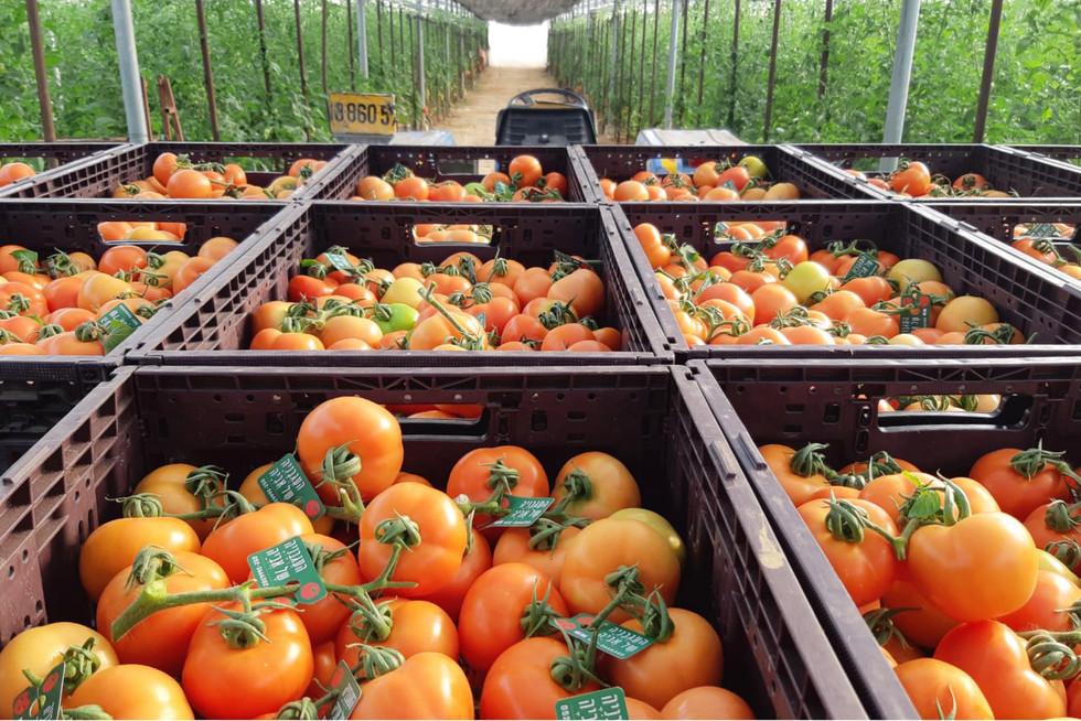 lubish-tomato22.jpg