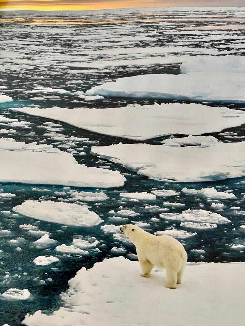 polar bear nature.jpeg