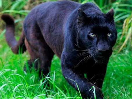 Black Panther Dream Symbolism