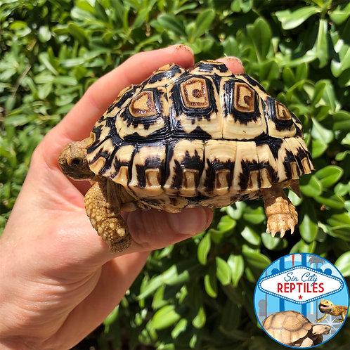 Yearling Leopard Tortoise