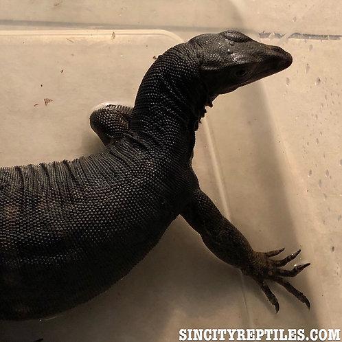 Juvenile Black Dragon