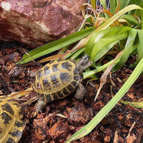 Adult Male Russian Tortoise