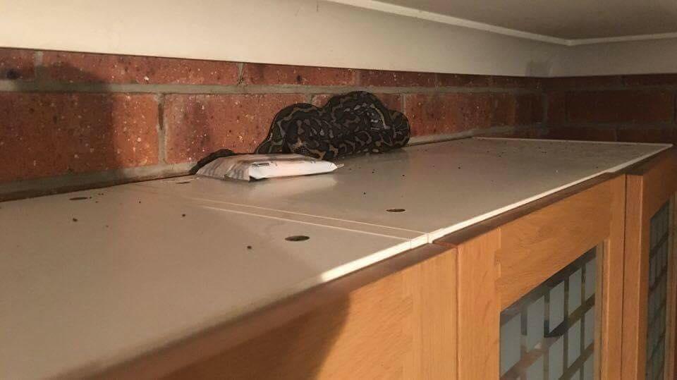 Carpet Python in Kitchen