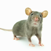 Rodent Pic.webp