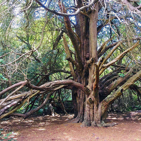 Ancient yew forest. Chichester harbour views. Walking trail. Free family activities West Sussex.