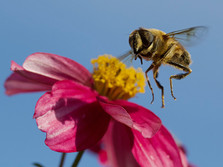 'Hovering Hoverfly' by Malcolm Moorehead