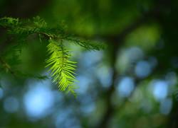 06_pine