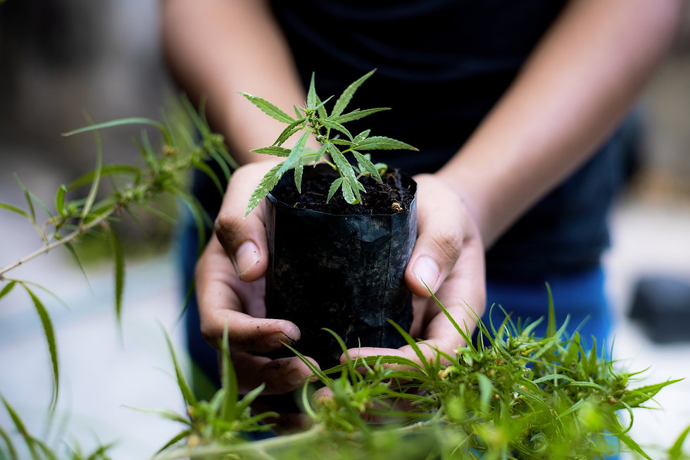 farmer-hands-holds-baby-cannabis-plant-f
