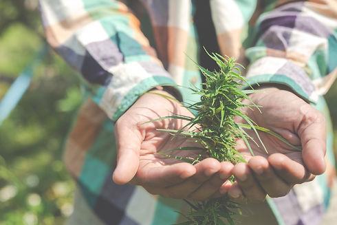 farmers-hold-marijuana-cannabis-trees-th